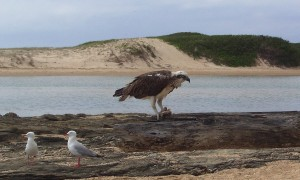 osprey and gulls valla beach by kazkoncepts